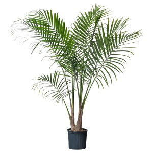 The pot plant: this is standard in an Afropolitan home.